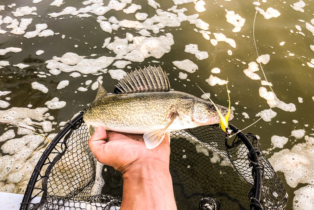 north saskatchewan river walleye fly fishing