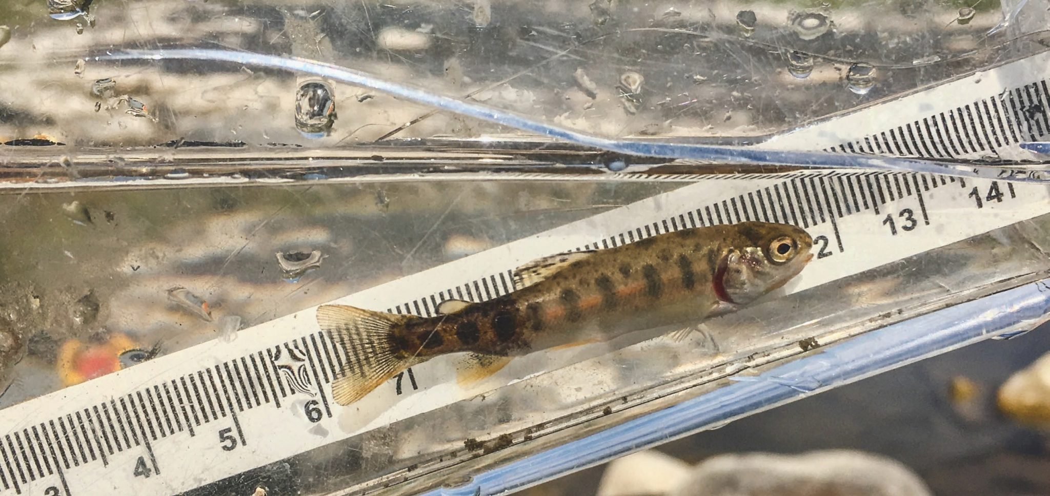 Rainbow trout affected with whirling disease